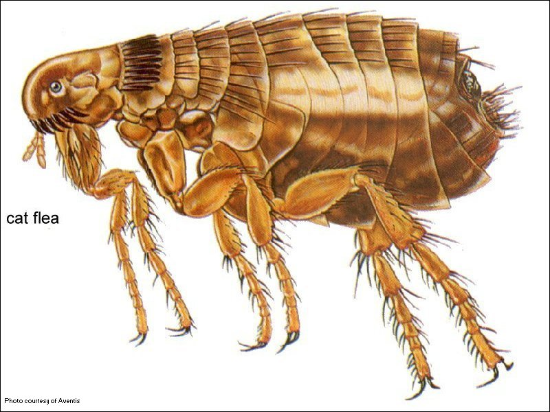 Fleas Causes Symptoms Treatment Fleas