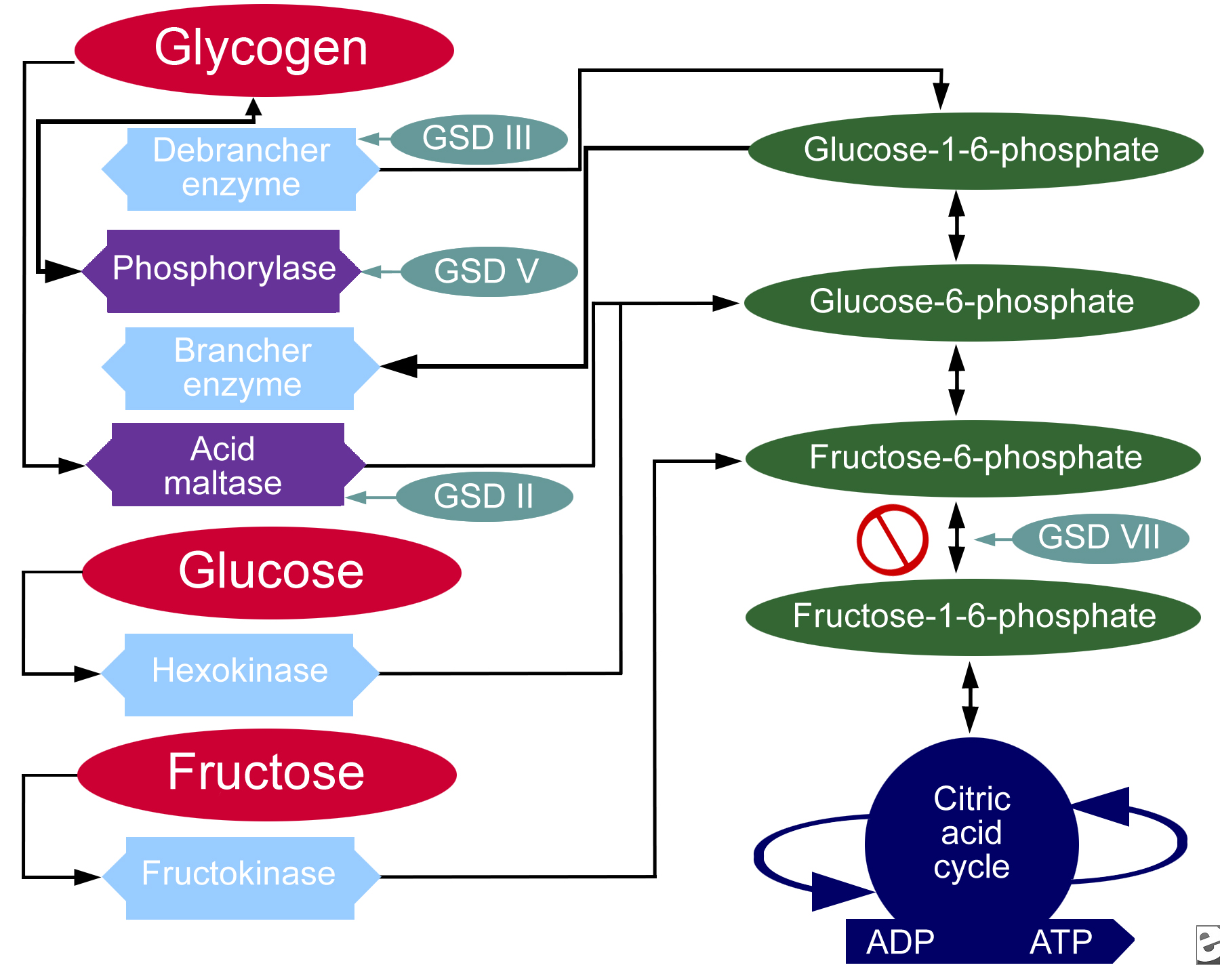 "glycogen storage disorder essay Galactosemia, which means ""galactose in the blood,"" refers to a group of inherited disorders that impair the body's ability to process and produce energy from a sugar called galactose when people with galactosemia injest foods or liquids containing galactose, undigested sugars build up in the blood."