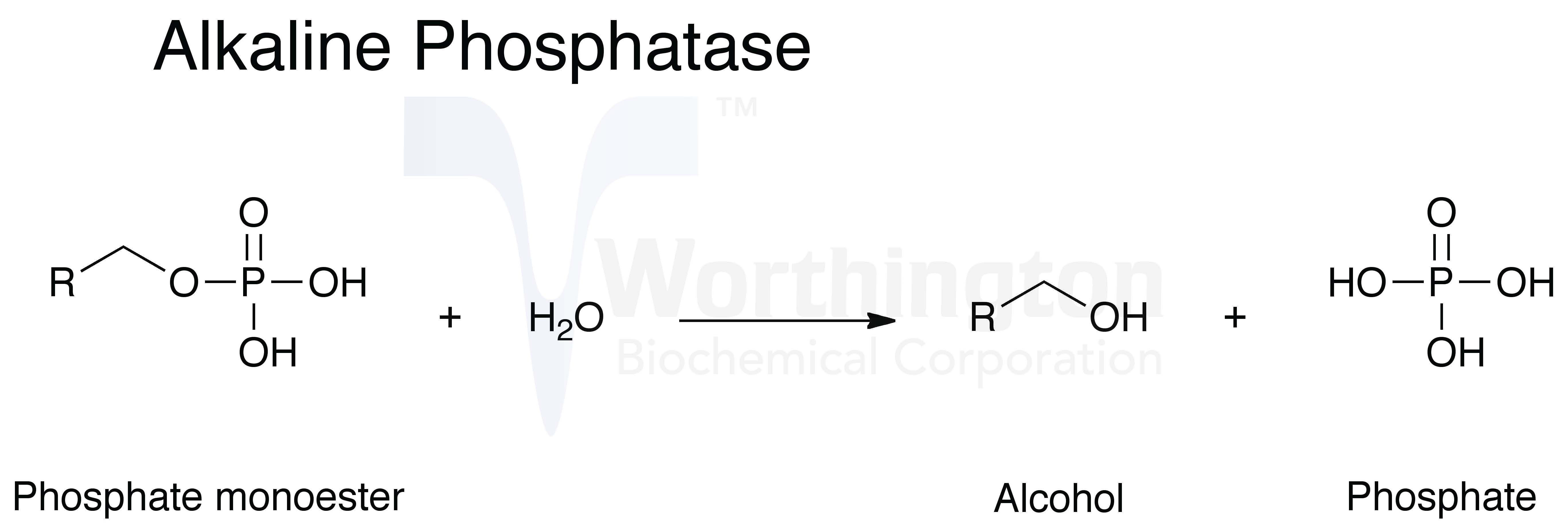 alkaline phosphatase thesis Hepatomegaly is a technical name for enlarged liver as the name implies, it's a condition in which the liver is enlarged or swollenrather than a disease in itself, hepatomegaly is a symptom or complication of other liver conditions, some of them life-threatening.