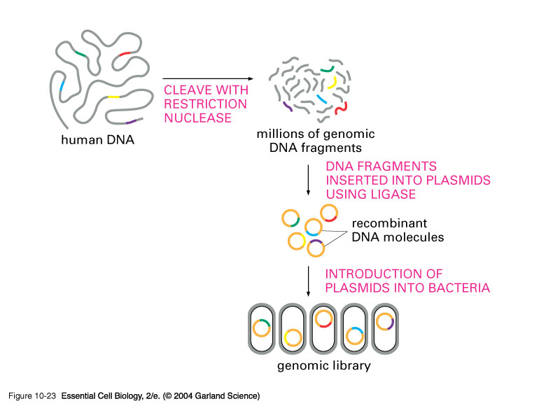 experiment creating a genomic library of Genomic libraries cloning dna a genomic library is a these assumptions are usually not all valid for a given experiment.