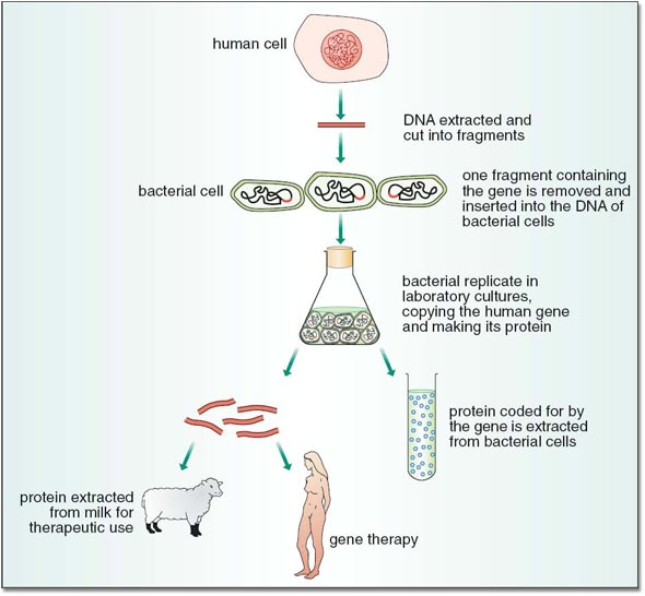 the process of human gene therapy Recombinant dna technology - gene therapy: gene therapy is the introduction of a normal gene into an individual's genome in order to repair a mutation that causes a genetic disease when a normal gene is inserted into a mutant nucleus, it most likely will integrate into a chromosomal site different from the defective allele although this may repair the mutation, a new mutation may result if.